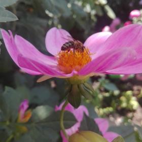 Розово цвете и пчеличката Мая