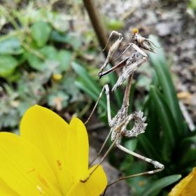 Клонеста богомолка яде прашец