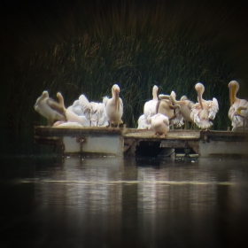 Пеликанска колония в Мандренското езеро