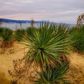 Юки по пясъчните дюни