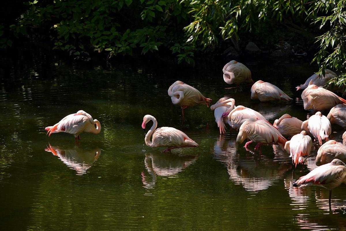 Следобедна дрямка.......Chilean Flamingo
