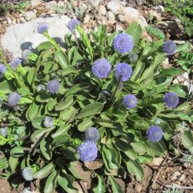 Globularia aphyllanthes