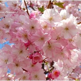 Нежно пролетно. Японска вишна във Виена
