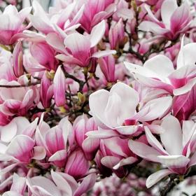 Вакханалия от магнолиеви цветове...Пролет е !