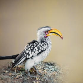 Hornbill - Птица Носорог
