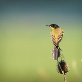 Жълта черноглава стърчиопашка  Motacilla flava feldegg