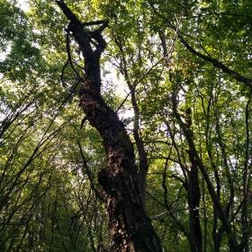 Дърво музикант
