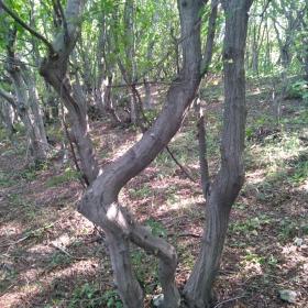 Дърво елен
