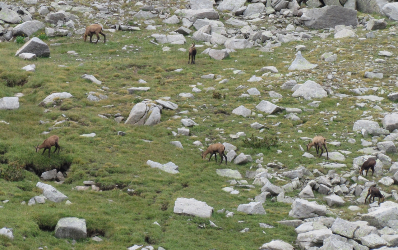 диви кози