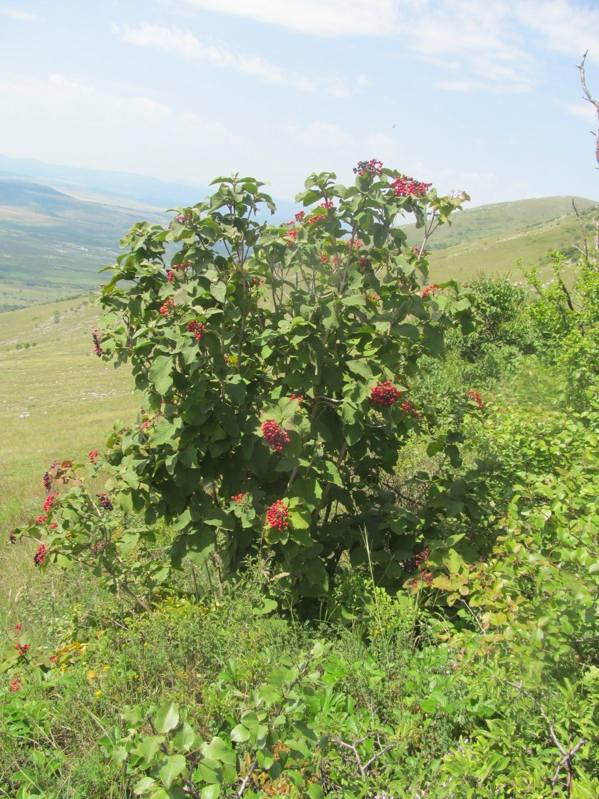 Viburnum lantata