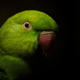 Зелен папагал