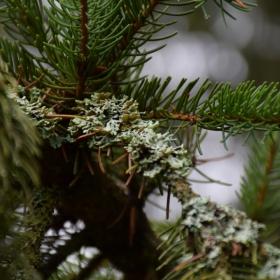 Зимна елха