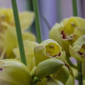 Cymbidium hybridum