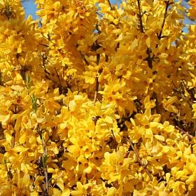 Просто... жълто, пролетта настъпва неудържимо.