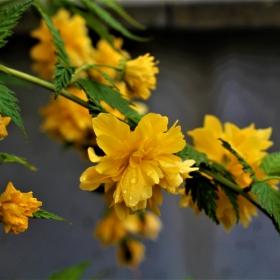 Жълта пролет