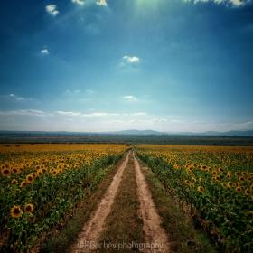 Слънчогледът- верен спътник на слънцето