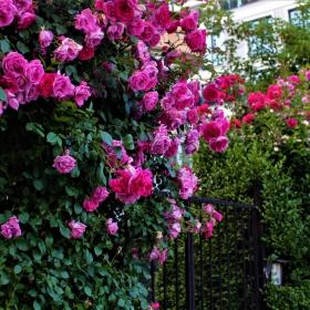 В страната на... розите