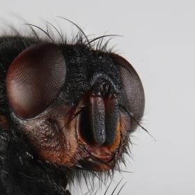 мухата