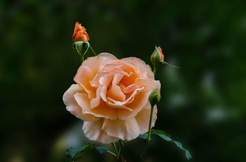 Кремава роза