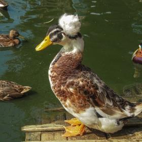 Качулата патица