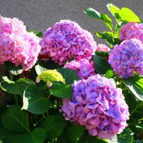 С;лънчево  розово